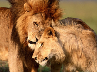 Lion and lioness pictures 4